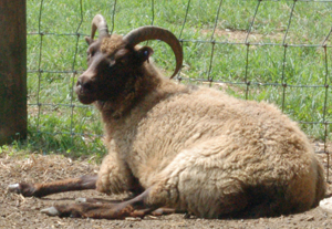 Horns in ewes are a primitive trait